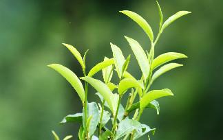 选择哪一家的普洱茶厂家比较好!