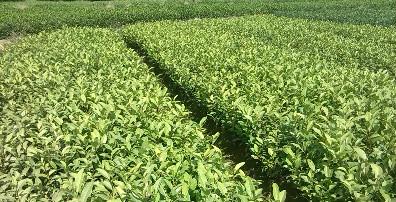 你了解普洱茶的繁殖方式吗?如何培育小苗!