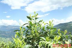 普洱茶选择那个季节的更好?